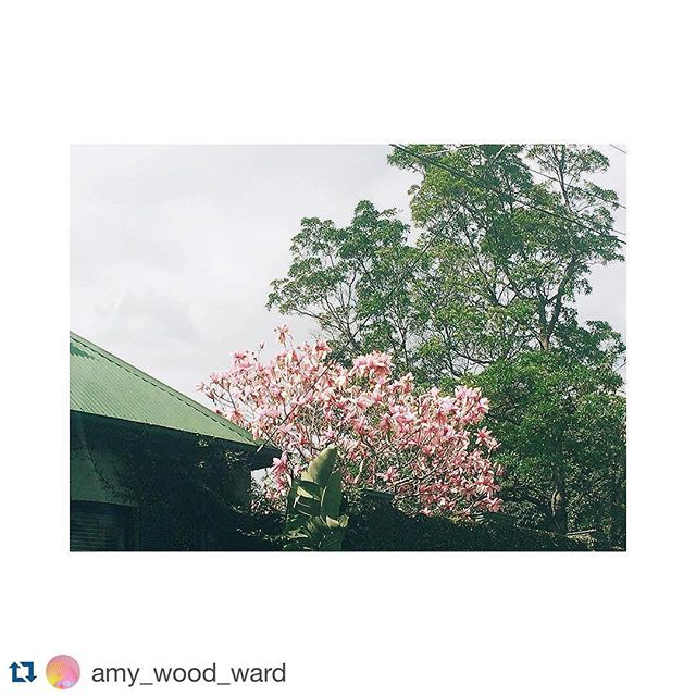 A peek of #puntroad #Friday #flowers courtesy of #Repost @amy_wood_ward ・・・ And then there were magnolias. #VSCOcam #puntroad #magnolia #spring