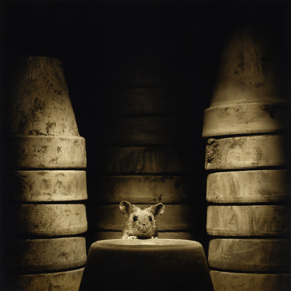 A wood mouse in my garage, taken on my old Hasselblad. The materials used include Ilford Delta 100 film in medium format, Ilford Multigrade Warmtone Fibre-based paper, Ilford chemicals, Fotospeed Sepia toner and a mouse, all of which are readily available.