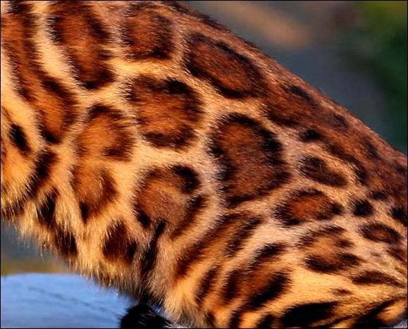 Wildforest Elis Regina of Bengal Brasilis17.jpg