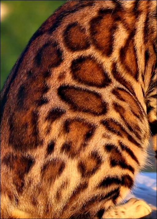 Wildforest Elis Regina of Bengal Brasilis10.jpg