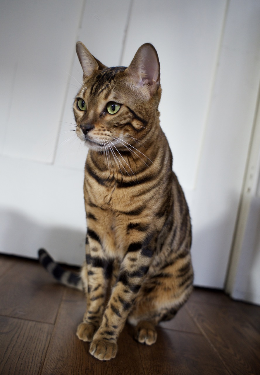 Beex Porthos Major of Bengal Brazilis - 8.jpg