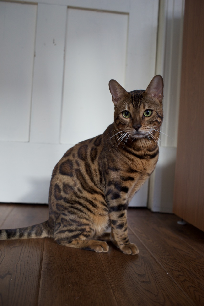 Beex Porthos Major of Bengal Brazilis - 6.jpg