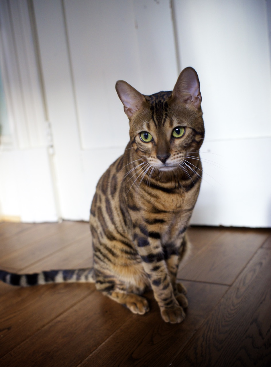 Beex Porthos Major of Bengal Brazilis - 5.jpg