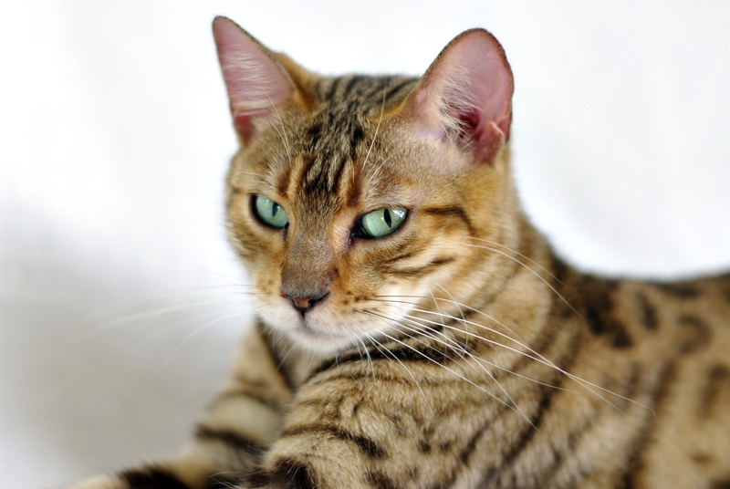 BengalBrasilis Linda Ronstadt 8.jpg