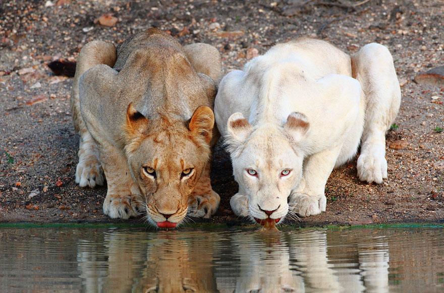 Albino-Lion.jpg