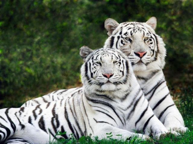 tigres_albinos.jpg
