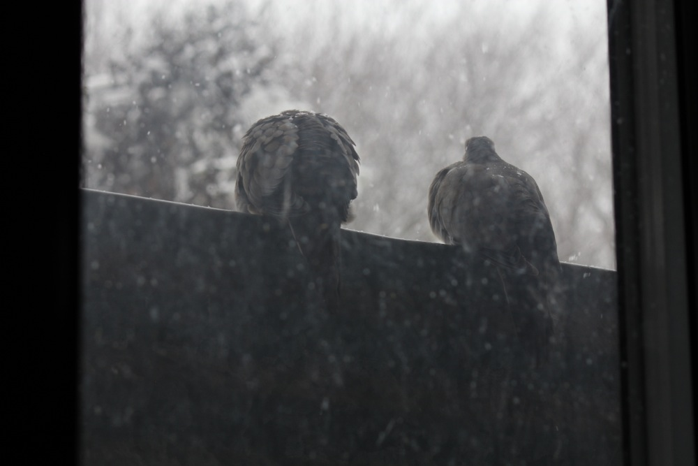 Mourning Doves 5
