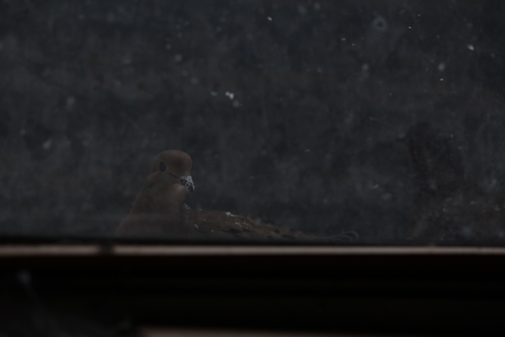 Mourning Doves 6