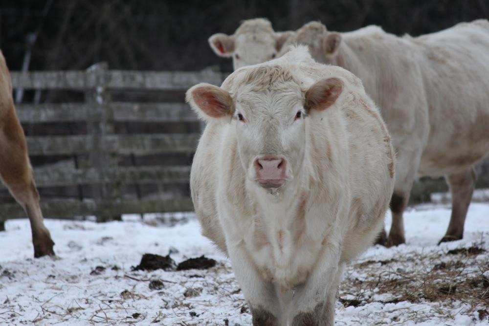 Cow Study 10