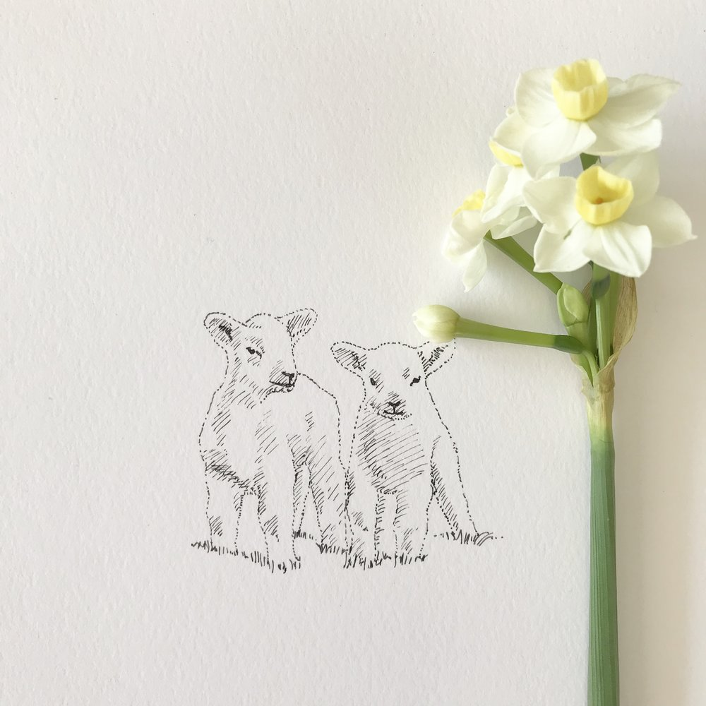 lamb illustration by Derek Griffin, Ditto Creative, from the oast, line illustration