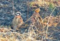 quailfire1.jpg