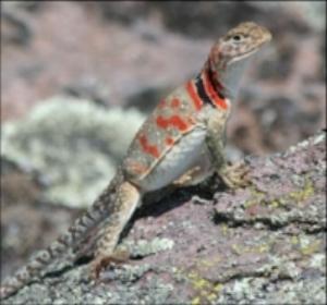 collared lizard image.JPG