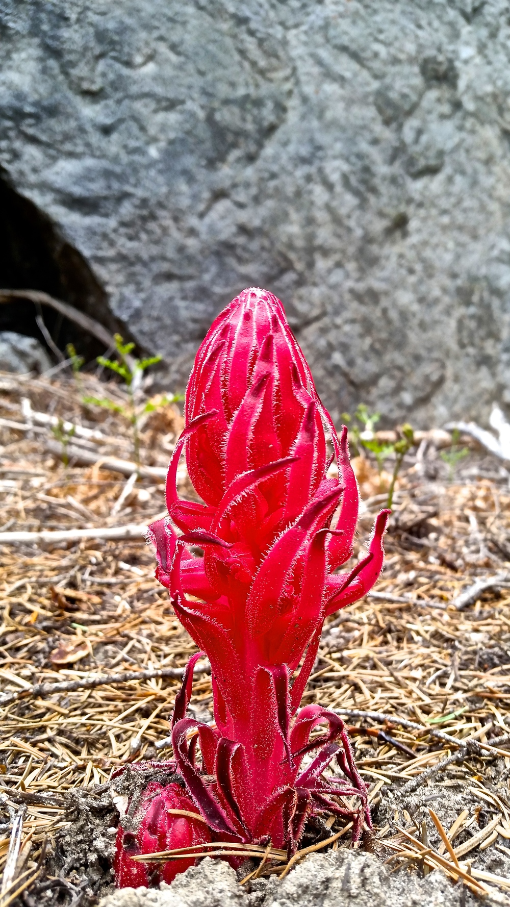 The snow plants are already out and in full swing