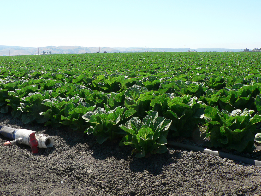 California cabbage crops.  Photo: Naotake Murayama.