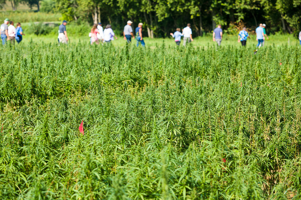 A hemp farm at the University of Kentucky was shown to the public in 2015.  Appellations for the cannabis industry may be effective in organizing agricultural regions according to plant type.  Photo: UK College of Agriculture.
