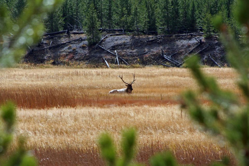 Photo contributed by Doug Rogness Elk in Yellowstone National Park