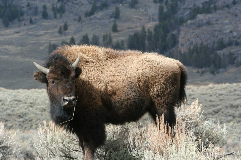 Photo contributed by Doug Rogness Bison in Yellowstone National Park