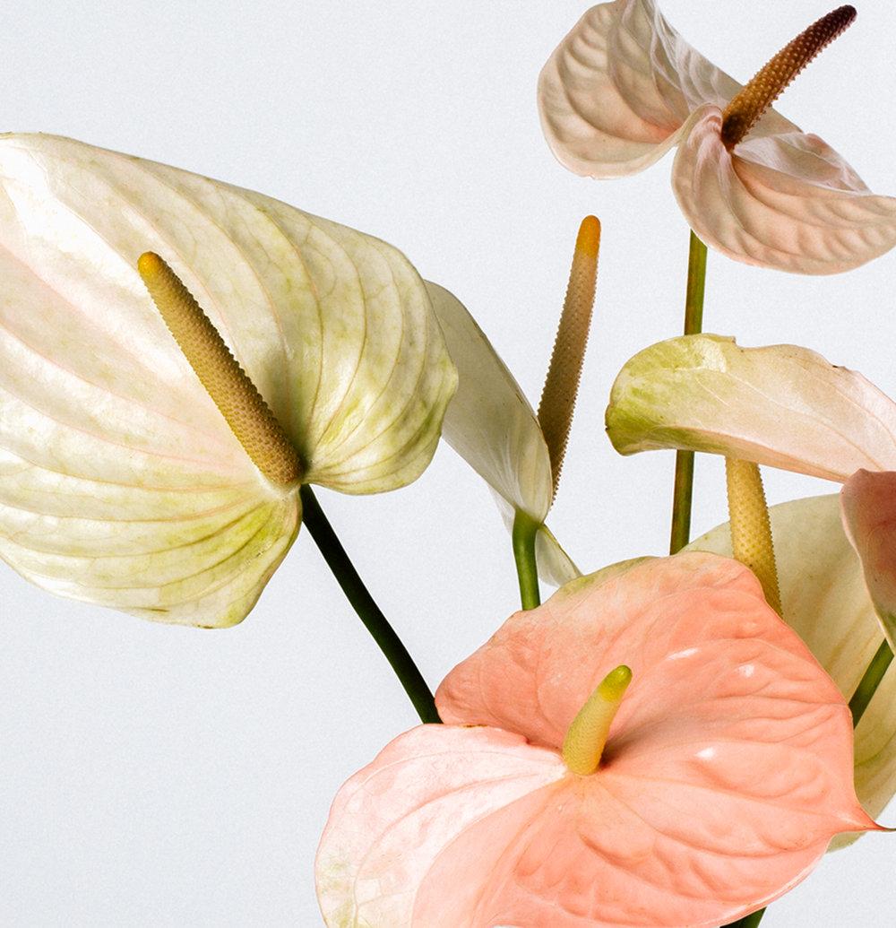 Roseur-Anthurium-Treu.jpg