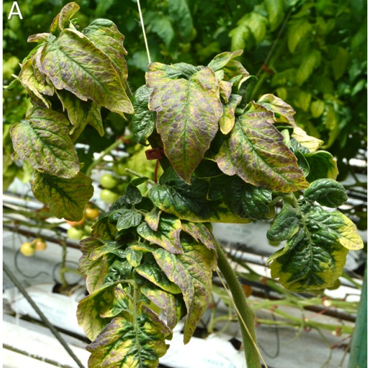 - Tomato chlorotic dwarf viroid (TCDVd) was reported from commercial greenhouse tomato plants in December 2018. In January 2016, plants showing stunting, foliar chlorosis and reddening, and leaf epinasty were observed on the island of Hawaii.