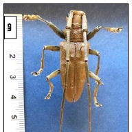 - An individual longhorned beetle endemic to Australia that was found on the Big Island was reported as a new state record for Hawaii in 2009. Additional beetles were collected in Puna in 2013, and in 2014, larvae were found in ia bradfruit tree, linking a host plant to the beetle in Hawaii.