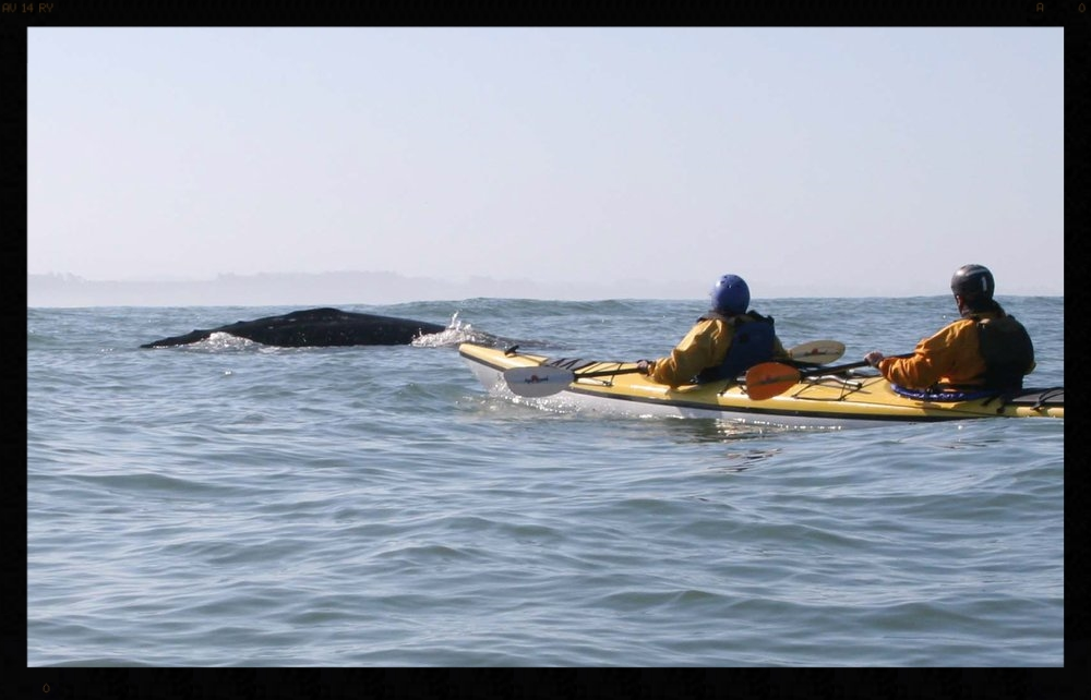 Kayaking past a friendly whale