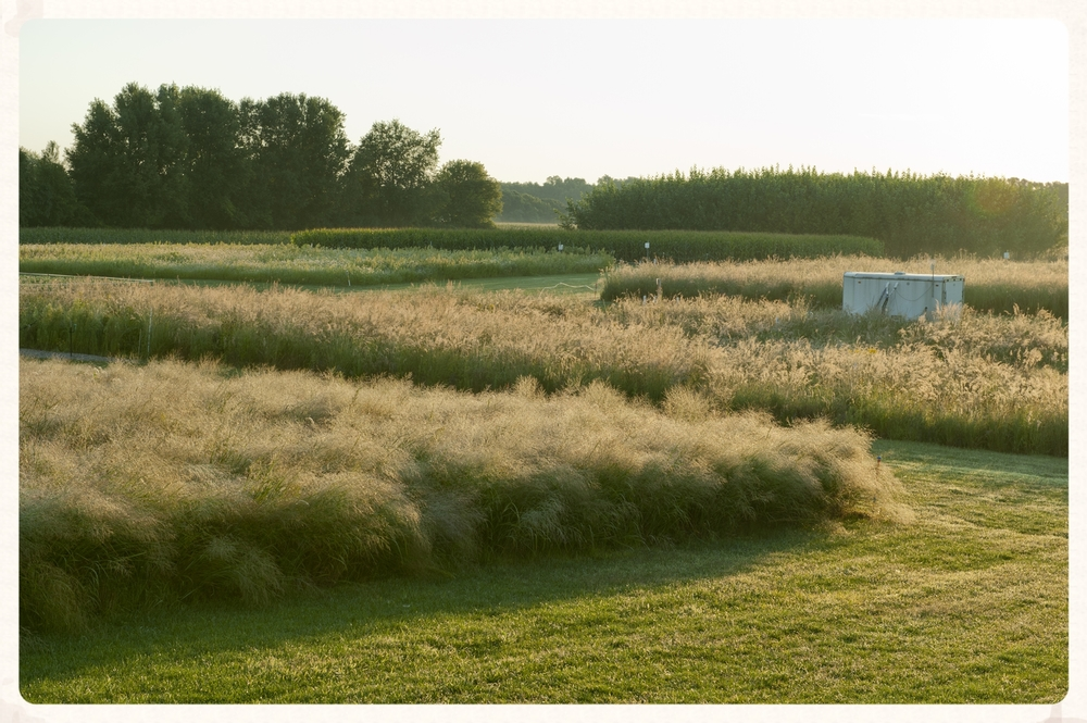 Switchgrass & prairie fields @ GLBRC Cropping Systems Experiment, Kellogg Biological Station  (Photo courtesy of K. Stepnitz - MSU)