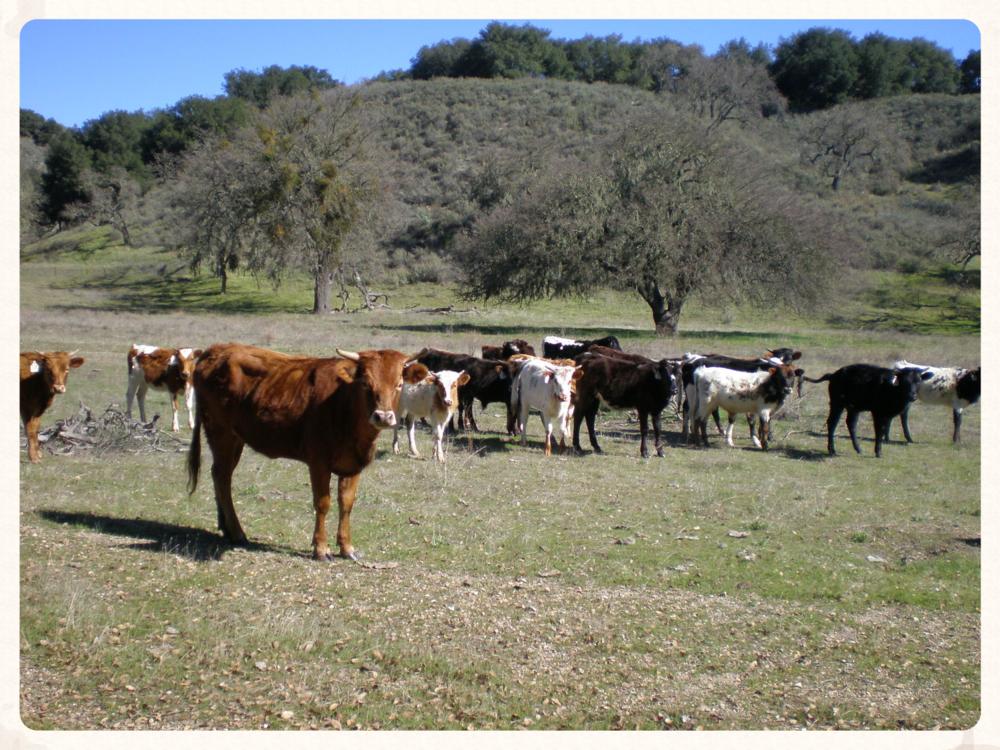 Grazing cattle @ Sedgwick Reserve (Santa Ynez, CA)