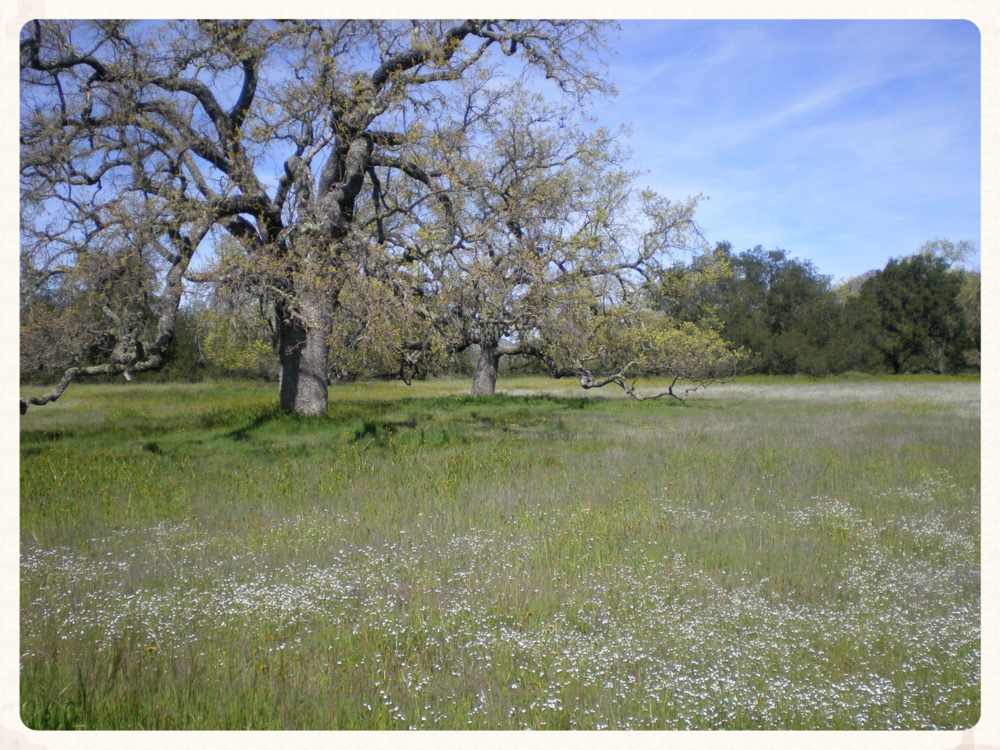 Valley oak [ Quercus lobata ] creating dramatic patterns in understory species distributions @ Sedgwick Reserve (Santa Ynez, CA)