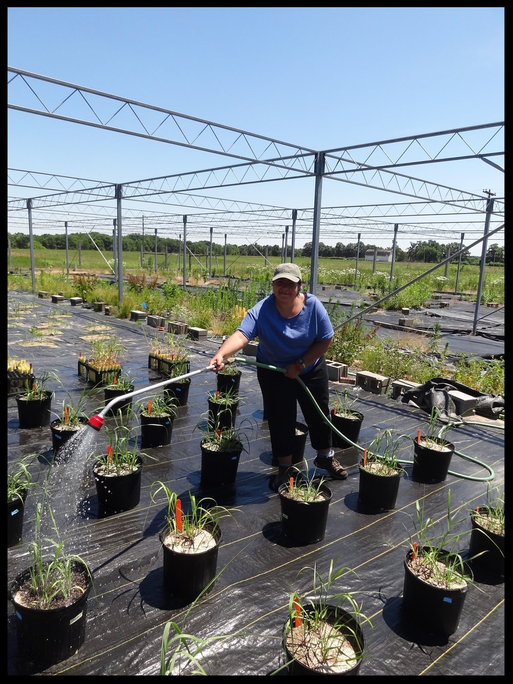 Bibiana Rodriguez watering her potted switchgrass seedlings (July 2016)