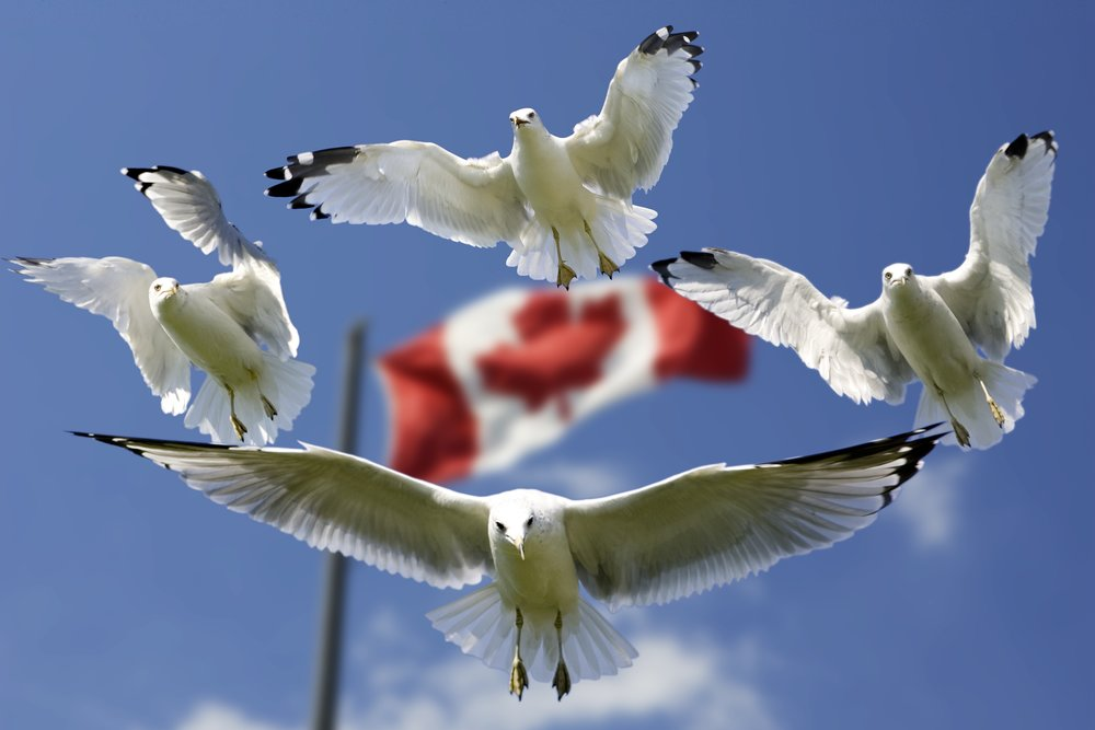 birds-blue-canada-45874.jpg