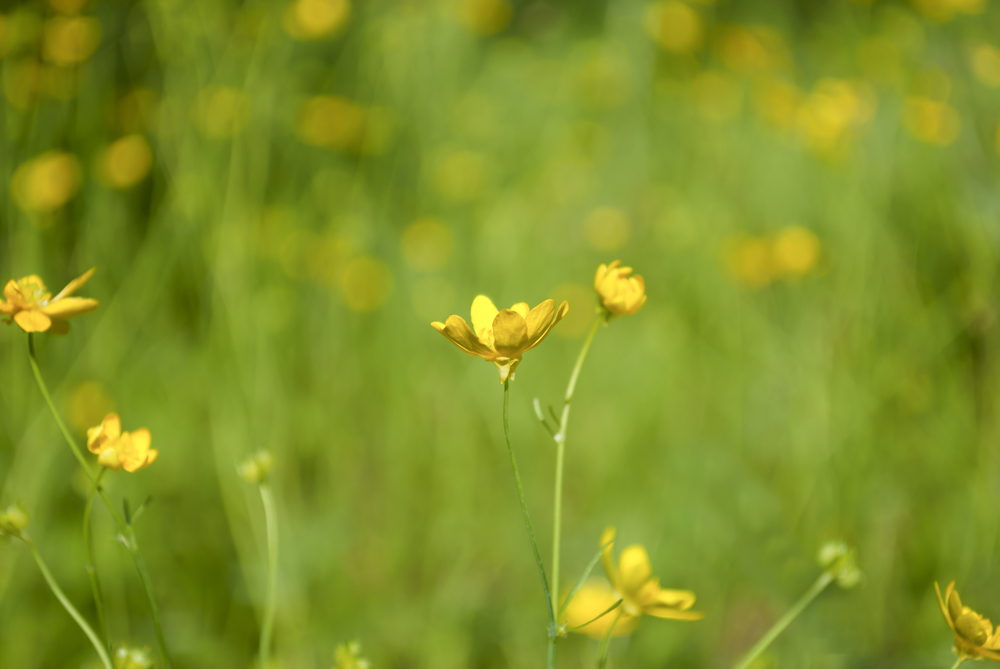 Ranunculus Californicus (California Buttercup)