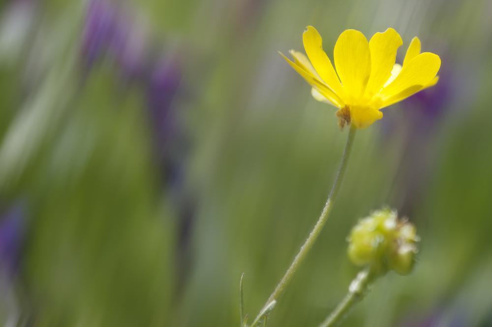California buttercup (Ranunculus californicus)