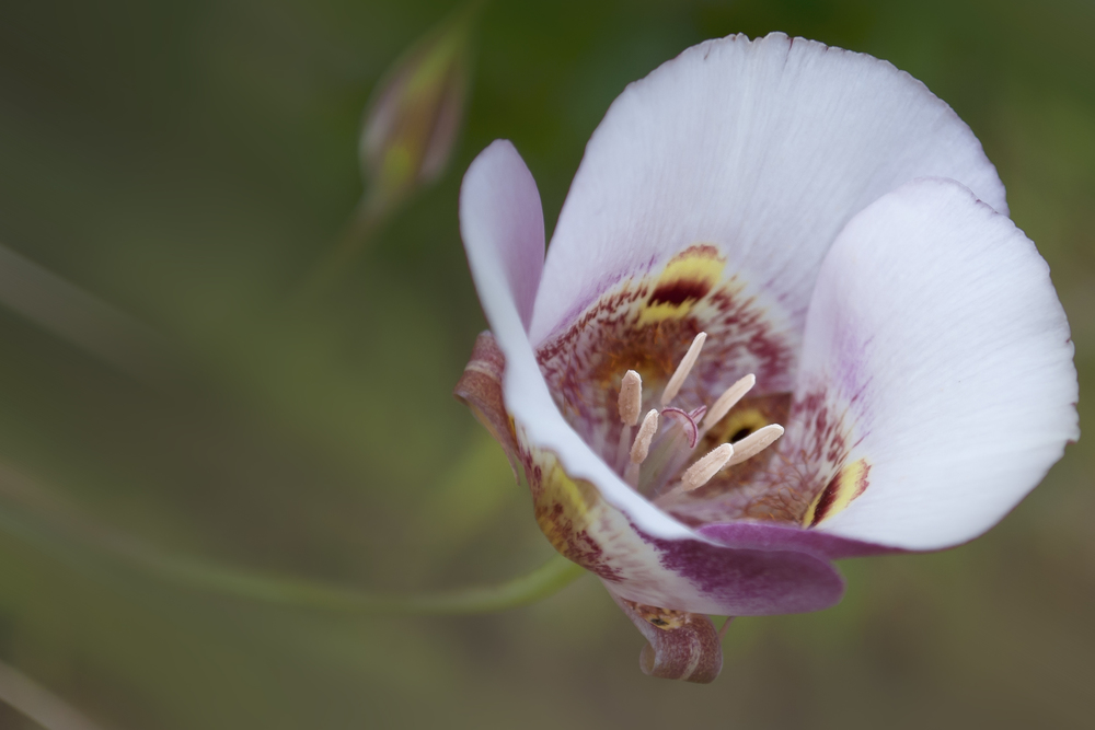 Clay mariposa lily (Calochortus argillosus)