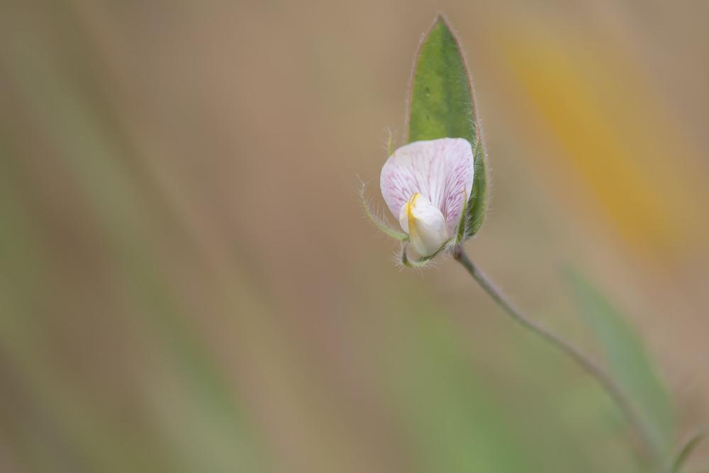 Bird's-foot trefoil (Acmispon americanus)