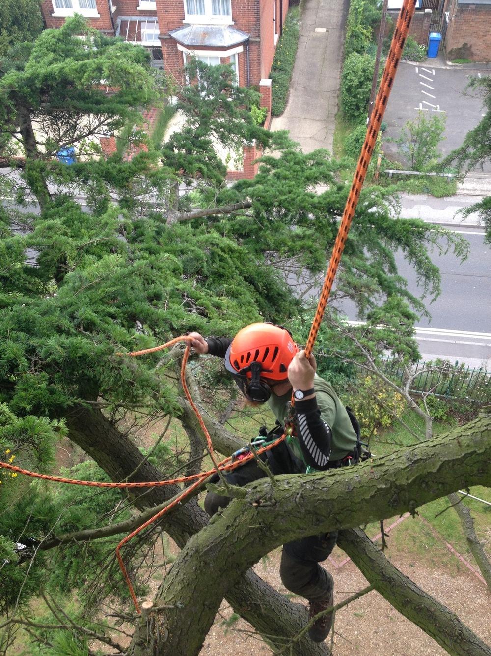 greenacre trees & landscapes cedar pruning.jpg