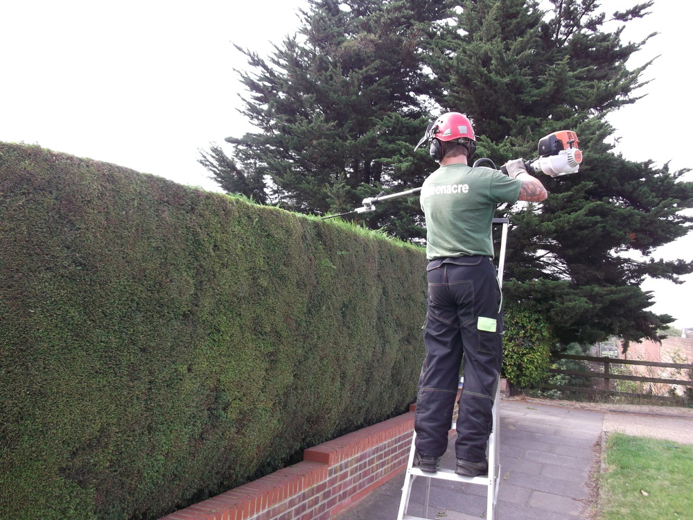 Conifer hedge cutting2.jpg