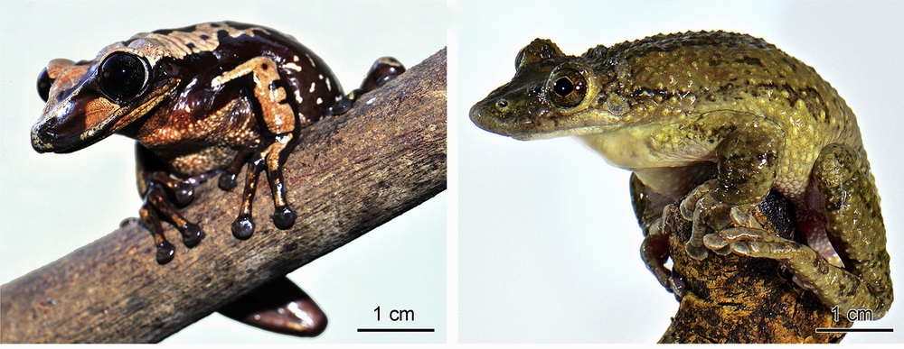 Adult frogs A. brunoi (Left) and C. greeningi (Right). Taken from Jared et al. (2015)