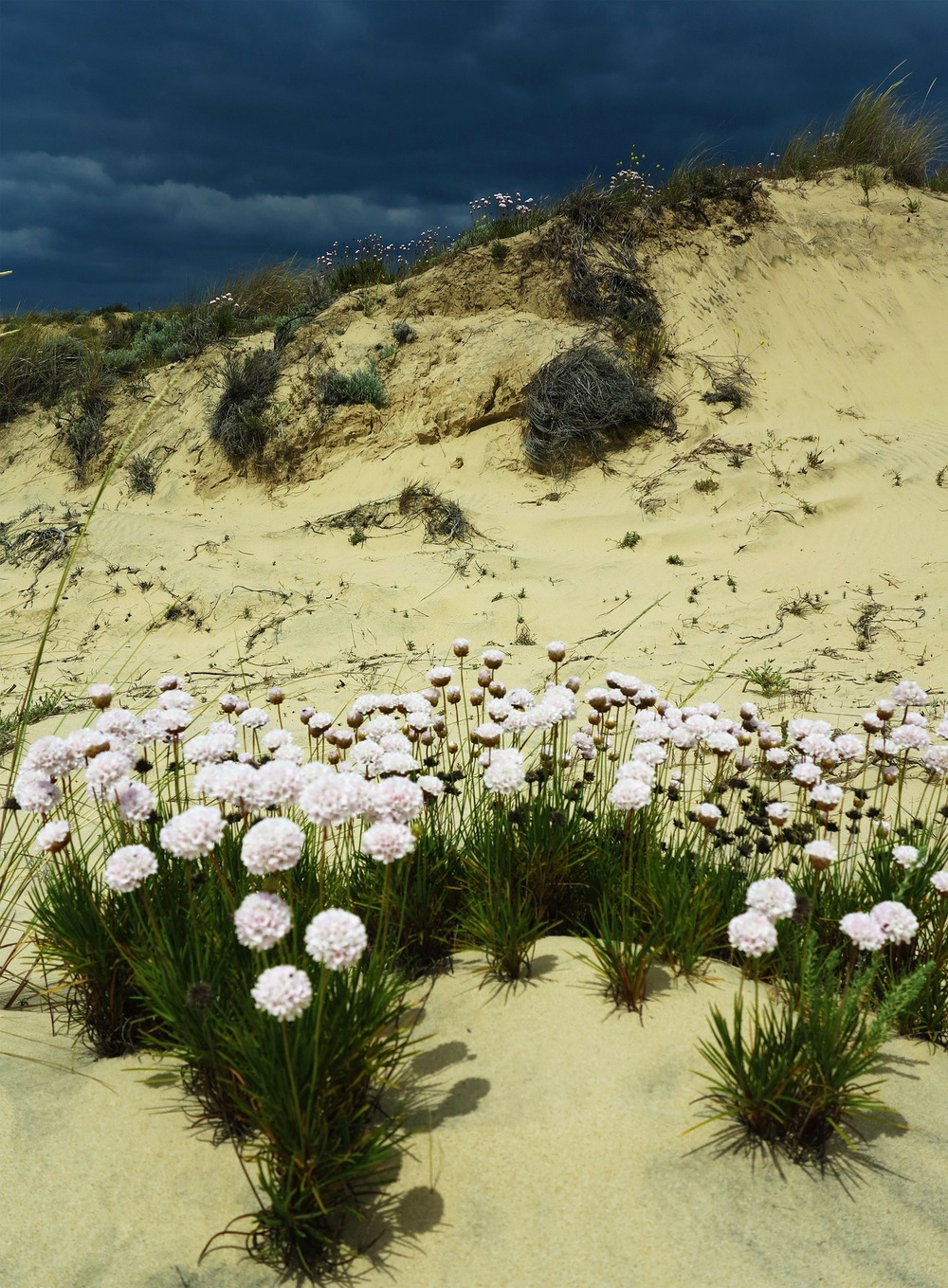 Wild flowers on the sand dunes of Doñana National Park