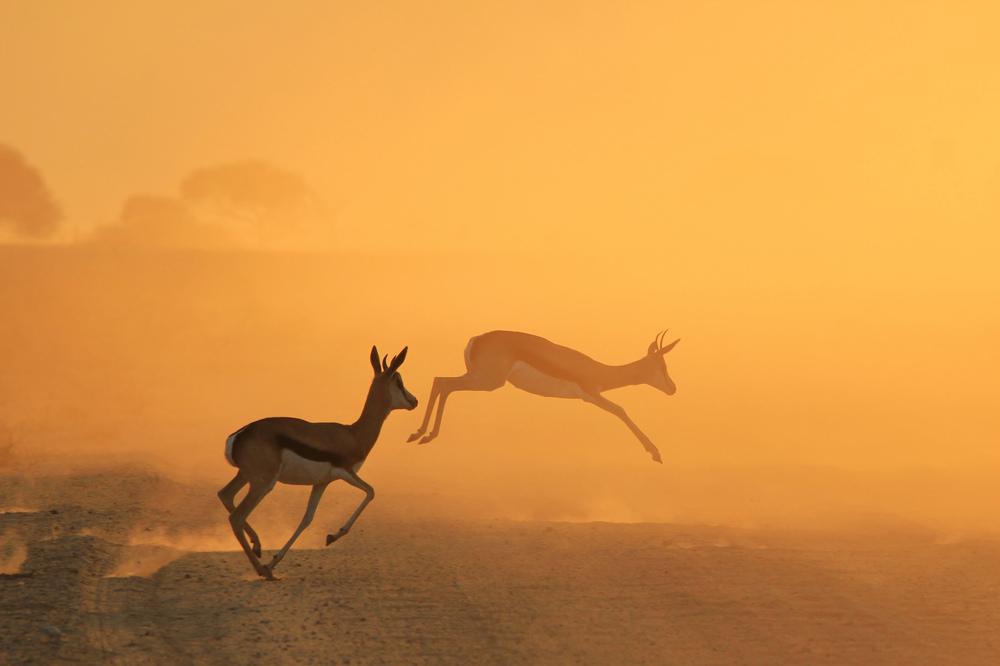 springbok jump great 300 ppi-2.jpg