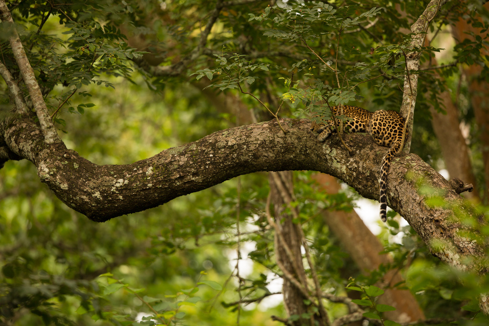 After taking several images from the original position, I moved behind the leopard, for a different perspective.