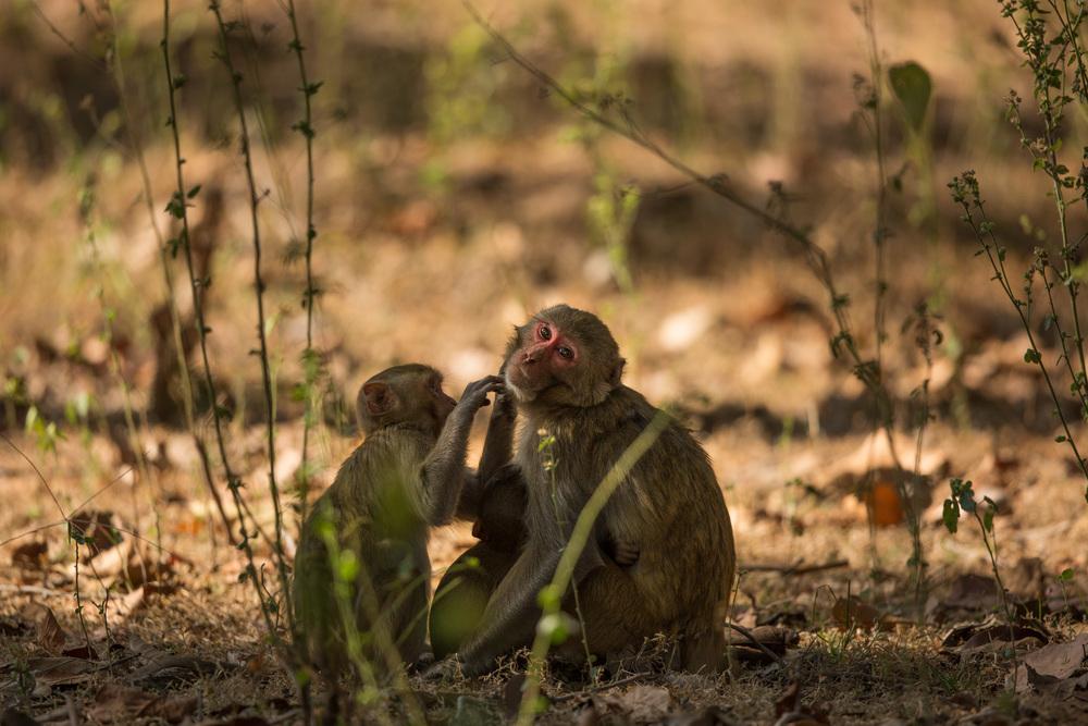 Rhesus macaques (Macaca mulatta) grooming, an important social behavior establishing bonds and hierarchy. CLICK IMAGE for full screen.