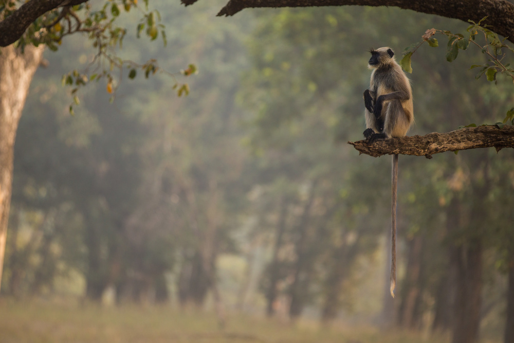 Grey Langur (Semnopithecus) sitting more comfortable in the safety of a tree branch. CLICK IMAGE for full screen.