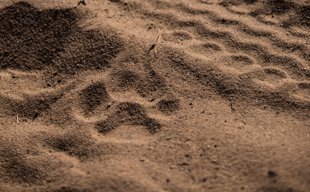 A tiger pug mark left in the sandy road. CLICK IMAGE for full screen.