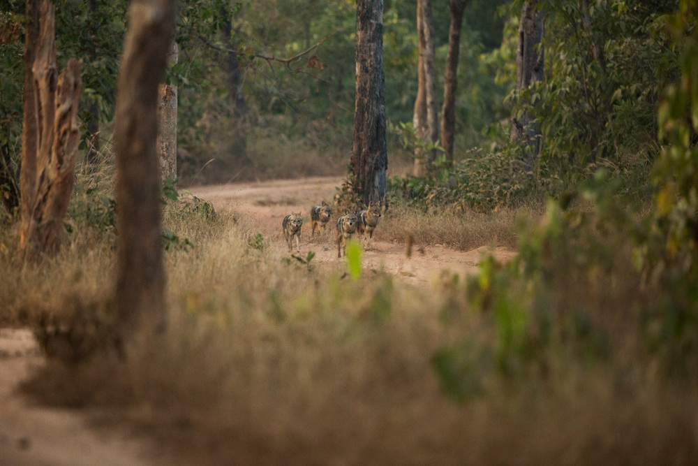 Golden jackals (Canis aureus). CLICK IMAGE for full screen.