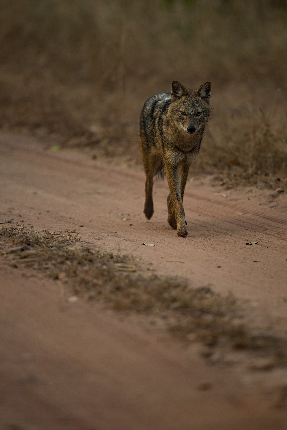 Golden jackal (Canis aureus).   CLICK IMAGE for full screen.