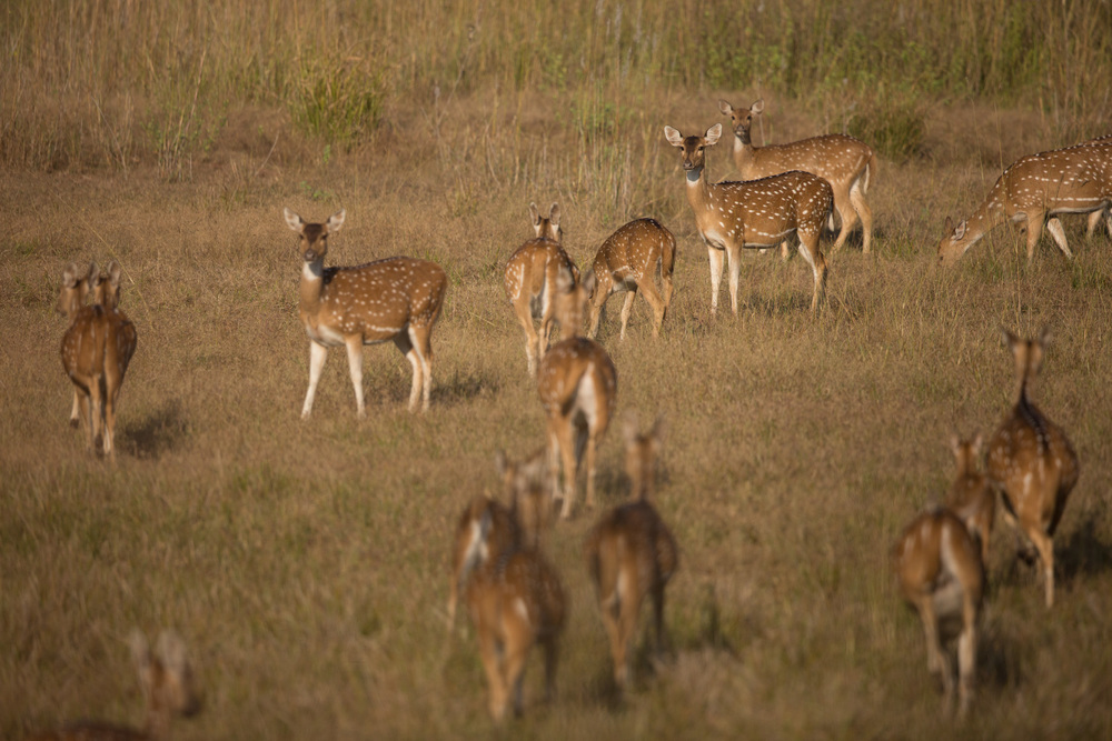Chital, or spotted deer (Axis axis). CLICK IMAGE for full screen.