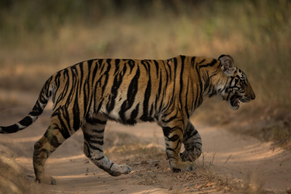 Tiger cub (Panthera tigris) crossing the road after his mother. CLICK IMAGE for full screen.