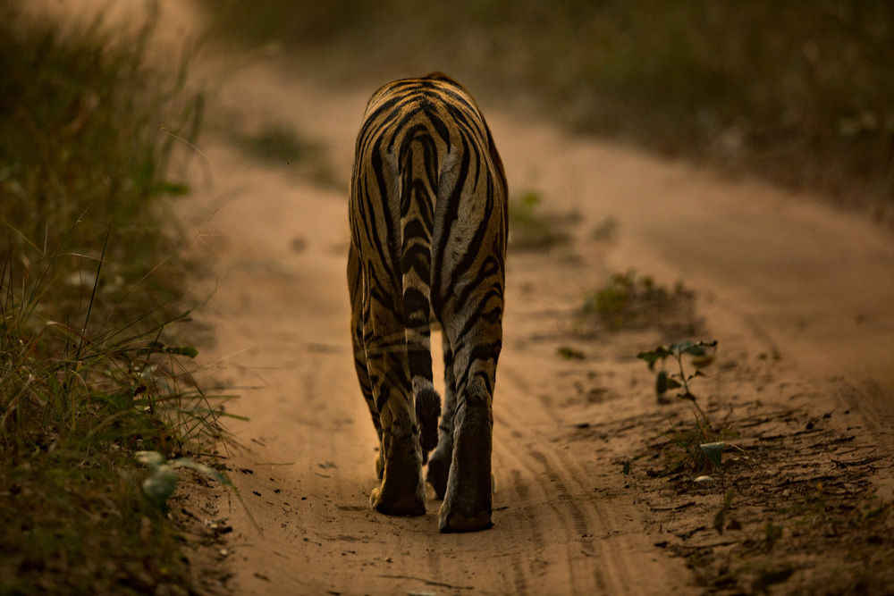 The Tiger (Panthera tigris) walks away from us at the end of the day. As I watch her disappear, I hope that we will see her reemerge, and that this is not the last we see of the Indian Tigers. CLICK IMAGE for full screen.