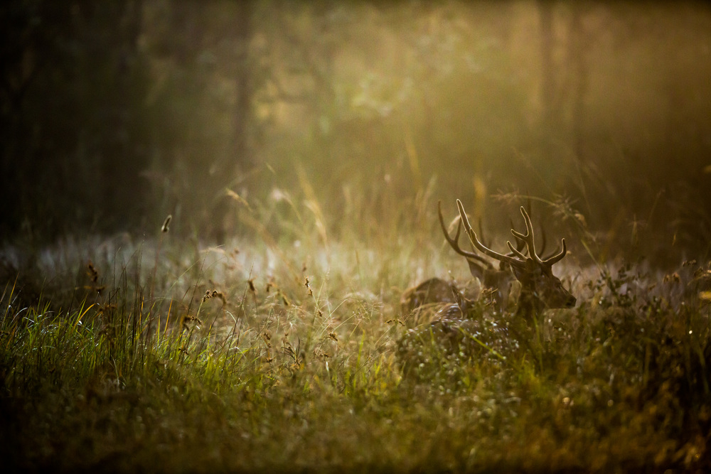 Chital, or spotted, deer (Axis axis) wade through the sea of grass in the evening light. CLICK IMAGE for full screen.