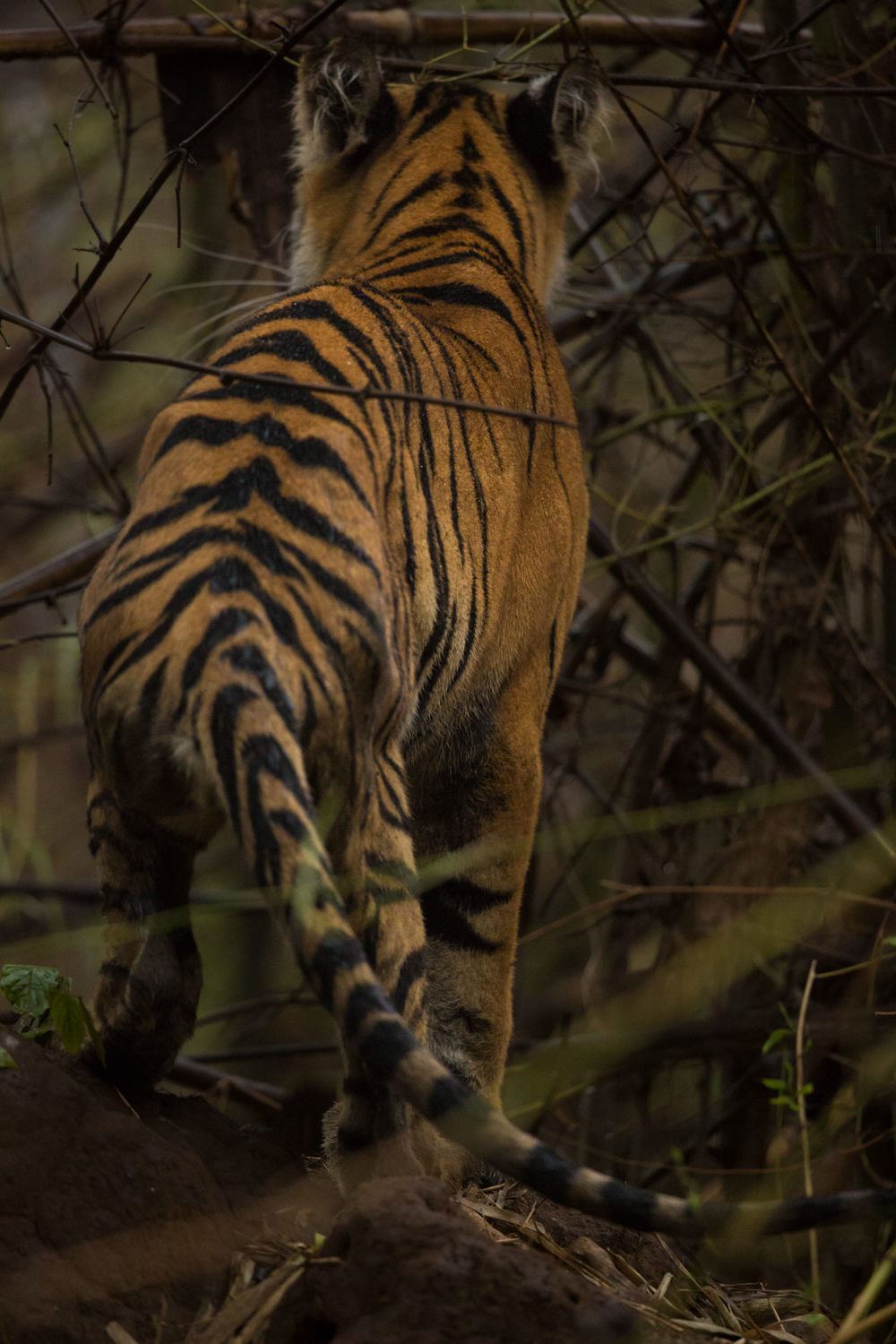 Until finally, after her little solo adventure, she left us, heading back to the river, and back to her mother and siblings. I foresee her joining the ranks of the boldest tigresses in Tadoba Tiger Reserve.